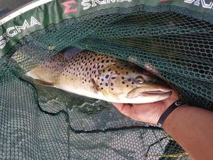 Brown Trout — Davide Tosato