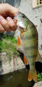 European Perch — Florent Bretin