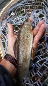 Grayling — Flux Fly Fishing