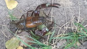 Spinycheek Crayfish — Pierre Roussin