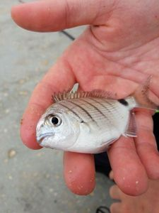 White Seabream — Simon GEOFFROY