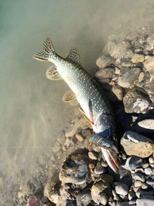 Northern Pike — Maxou pescadou