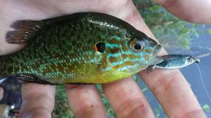 Green Sunfish — Thieffen Lantenois