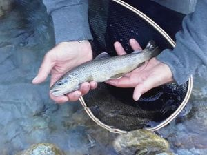 Brown Trout — Flo Mdg