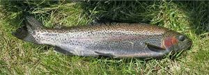 Rainbow Trout — Thomas Ybert