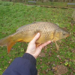 Common Carp — Alex Mourrier