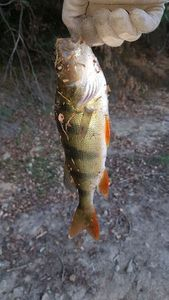 European Perch — Maxime Nyrd