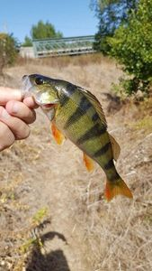 European Perch — matthieu ferreira (Team Carnacarp03)