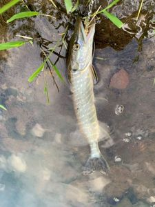 Northern Pike — Bell Clery