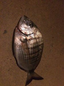 White Seabream — Fishing Porquerolles