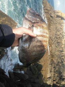White Seabream — Antho AFC