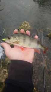 European Perch — Yoann