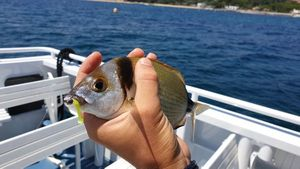 Common Two-Banded Seabream — Thibault  Dominguez