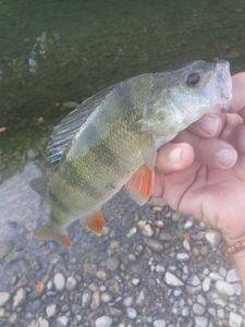 European Perch — Salmon HUNTER