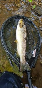 Common Trout — Matt Gondolf