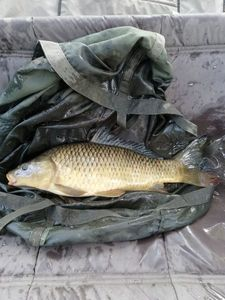 Common Carp — cool fishing 86