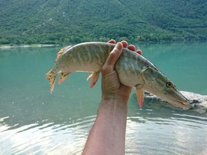 Northern Pike — Stelix -