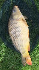 Common Carp — Hugo Delahay
