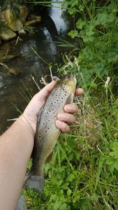 Brown Trout — Lenaic Berthelot