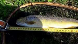 Brown Trout — Samuel Gaud