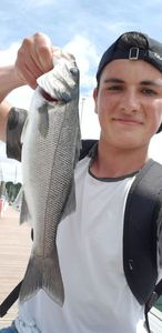 European Bass — Matt cdl
