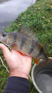 European Perch — Andy Lisandro Dardenne