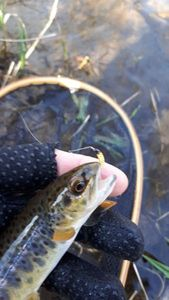Brown Trout — Flux Fly Fishing