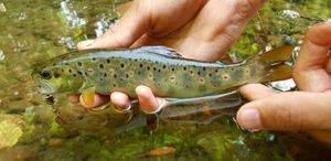 Brown Trout — Matteo Tournier