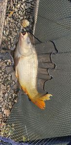 Common Carp — Joris Batista