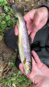 Brown Trout — Brad Perrot