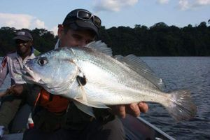 South American Silver Croaker — Fra Fox