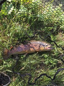 Brown Trout — Alberto Baggio