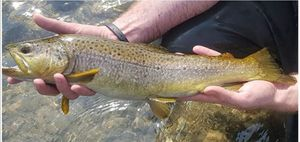 Brown Trout — Christophe Assire