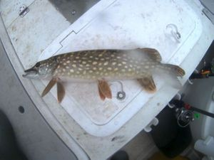 Northern Pike — Destree Damien