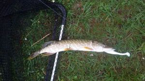Northern Pike — Ch Peignoir