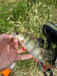 European Perch — Julien Carlier