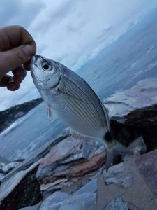 Saddled Seabream — Ben Benito Rockfishing