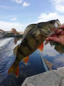 European Perch — Romu Grigri