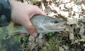 Brown Trout — Tom's R.