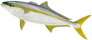 Southern Yellowtail