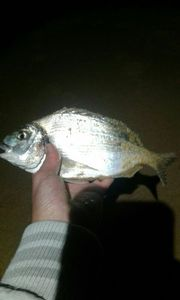Black Seabream — Alwin Merlet