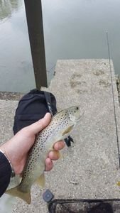 Brown Trout — Nicolas Sviech