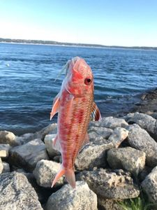 Red Mullet — Maxime Dacko