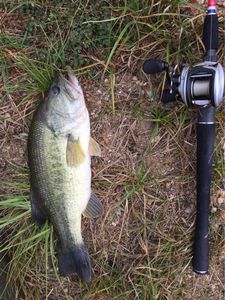 Largemouth Bass — Loïc Caravita