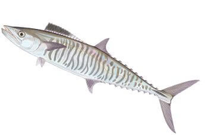 Narrowbarred Mackerel