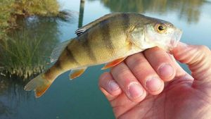 European Perch — Bryan Tournant