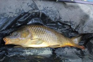 Common Carp — Lucas Feray