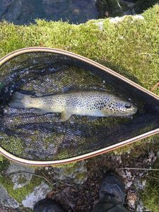 Brown Trout — Bruno Ropp