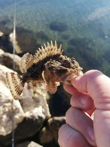 Brown Scorpionfish — Adrien fishing river and sea