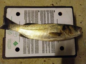 European Bass — michael mercier